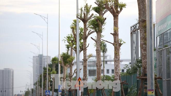 Hiện tại hai bên đường, hệ thống đèn chiếu sáng và cây xanh đã được hoàn thiện, giống bàng lá nhỏ được chọn trồng để lấy bóng mát.